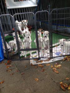 Kishu puppies